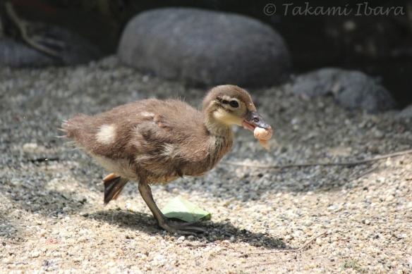20140702-duckies-3-2
